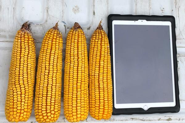 YMP 11 | Corn Crop