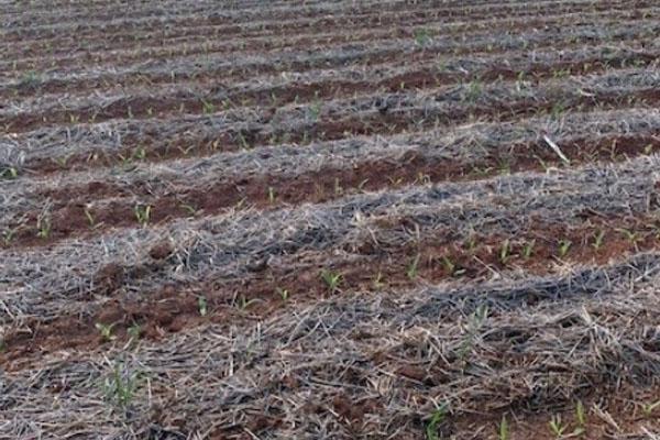 YMP 20 | Agronomy